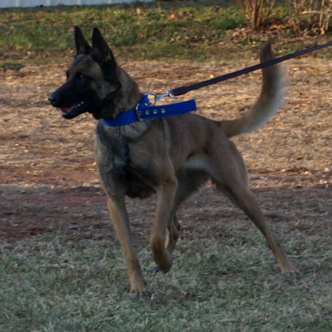 Dog Ready For Adoption Belgian Shepherd Malinois Australian Cattle ...