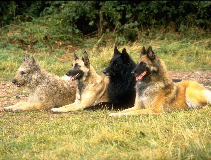 ... belgian laekenois belgian malinois belgian shepherd gronenendael