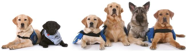 Seizure Detection Dogs For Sale